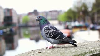 Pigeon bird in Amsterdam. Big city animal disease problem