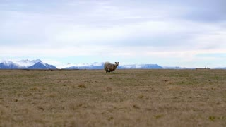 Sheared sheep standing alone in Iceland farm mountain background landscape