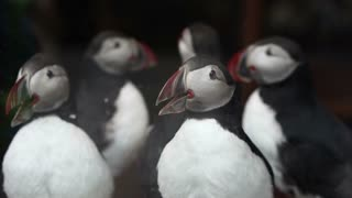 Taxidermy stuff puffins bird selling in shop. Endanger small animal of Western Europe