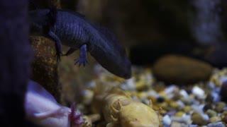 Water salamanders under water cute smiley lizard like amphibian animal