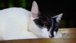 White cat with black face with yellow eyes, looks bored and sleepy in slow motion 120fps