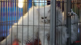 White long furry cat selling in cage. Angry face cat