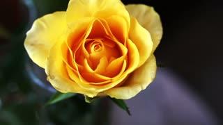 Yellow rose flower in garden shot in slow motion
