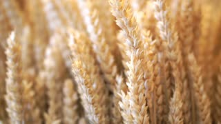 Wheat DecGolden dried barley wheat close up shot. Shop, restaurant or home interior decoration orate 1