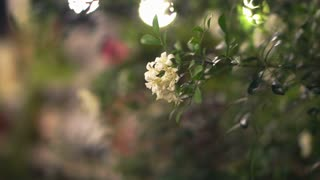 white flower jasmine in the light decorated beautiful garden at night. Romantic scene