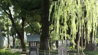 willow tree in the sun with Japanese lamp garden light