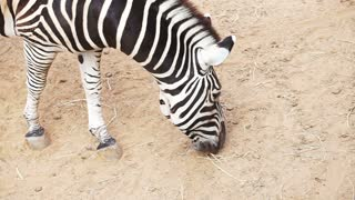 Zebra from top view with brown sand background in sun and shade