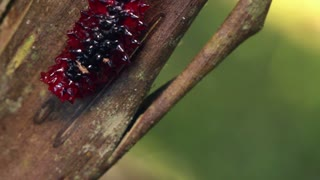 A red slug caterpillar (Limacodidae). In the Ecuadorian Amazon