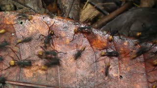 Army ants (Eciton rapax), In the Ecuadorian Amazon.