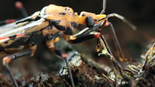 Assassin bug Triatoma sp. Vector for Chagas disease  in the Ecuadorian Amazon