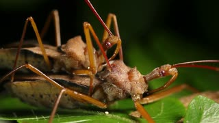 Assassin bugs mating