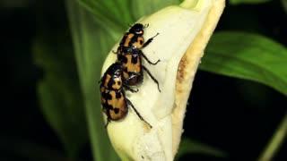 Beetles mating on a tropical Arum flower in Western Ecuador
