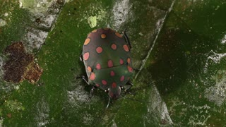 brightly coloured hemipteran bug on a leaf. In the Amazon Basin, Ecuador