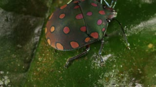 brightly coloured hemipteran bug on a leaf