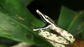 Brown Vine Snake (Oxybelis aeneus)