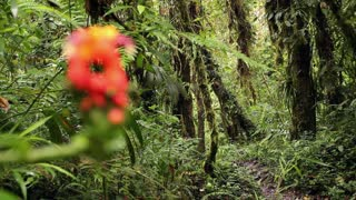 Cetrropogon flower with cloudforest background, pull focus. In the Andes, Ecuador