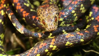 Checkerbelly Snake (Siphlophis cervinus)