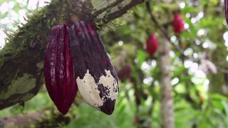 Cocoa pod suffering from Frosty Pod Rot on a plantation in the Ecuadorian Amazon