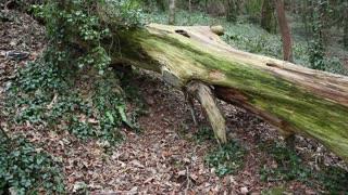 dead fallen tree in woodland, in Cornwall, UK
