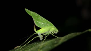 Female katydid with a spermatophore attached after matingArmy ants (Eciton rapax), In the Ecuadorian Amazon.
