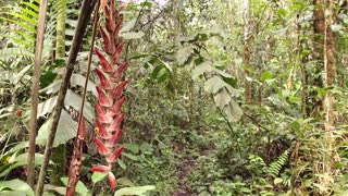 Heliconia velligera, a rainforest understory plant in flower