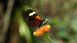 Heliconid butterfly feeding from a Gurania flower. In rainforest in the Ecuadorian Amazon.