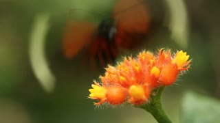 Heliconid butterfly  feeding on a Gurania flower. In rainforest in the Ecuadorian Amazon.