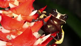Knocking tree hole frog (Nyctimantis rugiceps) on a bromeliad flower in the Ecuadorian Amazon