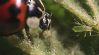 Ladybird beetle eating an aphid