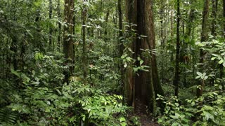 Large tree in tropical rainforest. In the Amazon Basin, Ecuador