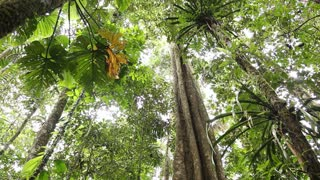 Large tree in tropical rainforest. In the Ecuadorean Amazon