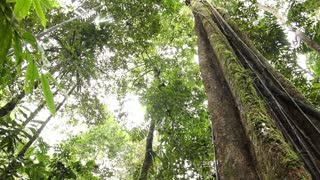 Large tree in tropical rainforest. In the rainforest, Ecuador