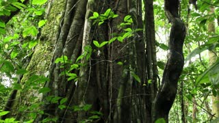 Lianas entangling a rainforest tree in Ecuador