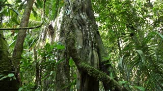 Lianas entangling a rainforest tree