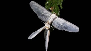 Moths mating in the rainforest at night
