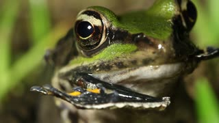 Neotropical green frog (Lithobates palmipes) eating another frog