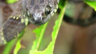 Neotropical snail-eater (Dipsas indica) In the Ecuadorian Amazon