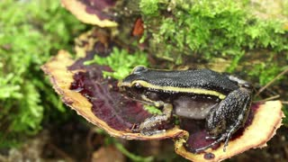 Painted ant nest frog (Leptodactylus lineatus)