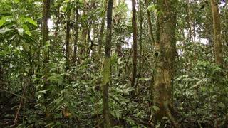 pan- Interior of tropical rainforest. In the Ecuadorian Amazon