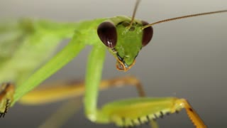Praying Mantis. In the Amazon Basin, Ecuador
