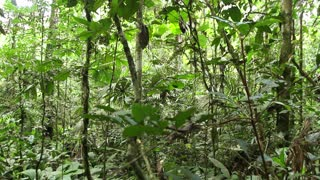 Primary tropical rainforest with palms