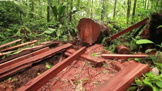 Rainforest tree cut for timber.