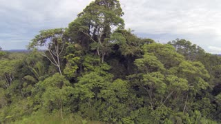 Rising up above an emergent tree on a hilltop in the Ecuadorian Amazon