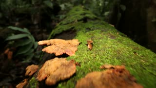 Rotting log in the rainforest, low angle tracking shot