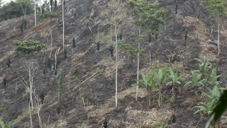 Slash and burn agriculture in Manabi province, Ecuador