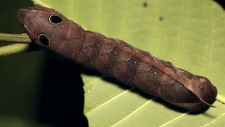 Snake mimic- Sphingid caterpillar with eyespots. In the Ecuadorian Amazon