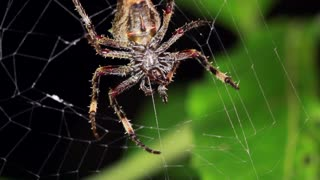 Spider in an orb web at night in the rainforest, Ecuador