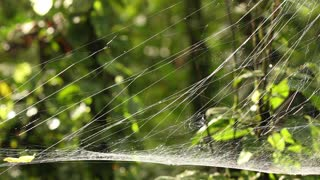 Spider web, probably a sheetweb spider, family Linyphiidae. In the Ecuadorian Amazon