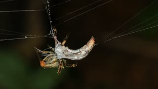 Spider with a wasp wrapped in silk ready to eat. in the rainforest, Ecuador
