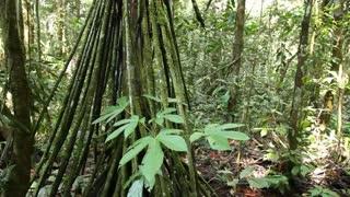 Stilt root palm Socratea exorrhiza in rainforest, Ecuador